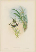 Gould Hummingbirds antique h/c lithograph w/gold leaf Pl 154 Evening Hummingbird