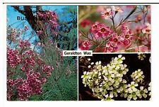 Postcard: Multiview - Geraldton Wax in its various colours, Western Australia