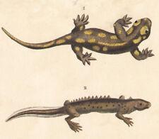 1850 Gravure batraciens salamandres salamandre à queue plate histoire naturelle
