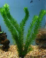 50 x ELODEA DENSA LIVE AQUARIUM AQUATIC PLANT TROPICAL OR COLDWATER