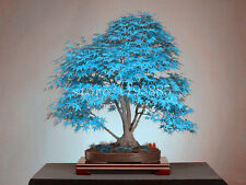 Blue American Maple Bonsai Flowering Tree Seeds 15 Seeds Good Growing Seeds