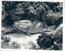 1963 Wire Photo Nassau Grouper Fish Chicago Natural History Museum