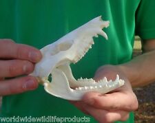 Real 4 inch Possum Skull, head - Opossum Taxidermy (S)