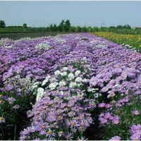 Kings Seeds - Aster Alpine Mixed -  250 Seeds
