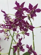 Blooming! Dendrobium Pua'ala 4� Potted Purple Orchid Plant