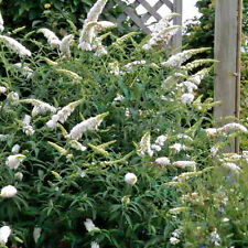 BUTTERFLY BUSH SNOW WHITE, 249+ SEEDS,  BUDDLEIA, EZ TO GROW,  FRAGRANT FLOWERS
