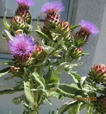 "100 Seeds Cardoon Thistle ""Cynara"" Edible Plant Home Gardening Seeds"