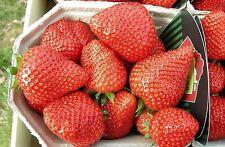 Erdbeerpflanzen  Elianny  25 Figro Pflanzen