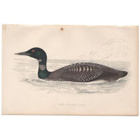 Morris Birds antique 1863 hand-colored engraving print Pl 304 Northern Diver