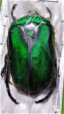Bright Green Sumatran Flower Beetle Rhomborrhina gigantea Male Fast From Usa
