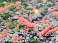 30 + 2 High Grade Red Cherry Shrimp Home Bred Dwarf Rcs Neocaridina + Java Moss