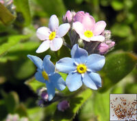 ALPINE FORGET ME NOT MIX - 320 seeds - Myosotis alpestris - FLOWER #953