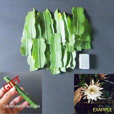 "10 Cuttings Epiphyllum Oxypetallum ""Orchids Cactus"" Succulent Plant + FREE GIFT"