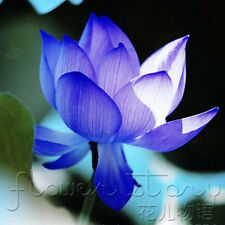 10 Seeds Sapphire Lotus Seeds Water Plants Fragrance Aquatic Flowers