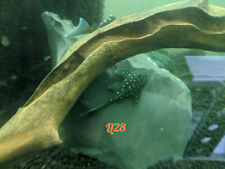 """L128 Blue Phantom Pleco 2.5-3"""" with free shipping within continental U.S."""
