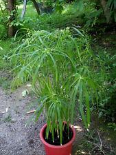 10x Asparagus densiflorus Mazeppa Garten Samen Pflanze Strauch Staude B722