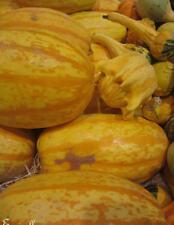 ♫ COURGE 'SPAGHETTI' - Cucurbita pepo ♫ Graines ♫ Plante Potagère et Gustative ♫