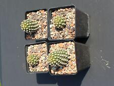 4 x Pygmaeocereus bieblii - in 7 cm Töpfen bzw. 60 Tray abgebildet - Wunderschön