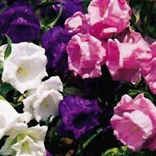 50+ HEIRLOOM CAMPANULA DOUBLE CANTERBURY BELLS PERENNIAL FLOWER SEED MIX