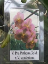 Orchid Vanda Prapathon Gold x sanderiana Mad Happenings Special Plant