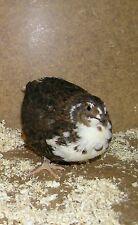12 fresche uova da cova quaglie uova di quaglia Marrone contro llo Tenebrosus Quaglia