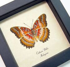 Real Framed Cethosia Biblis Verso Butterfly 146v