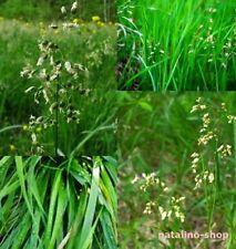 *Mariengras* 20+ Samen *Hierochloe odorata *Bisongras *Sweet grass seeds