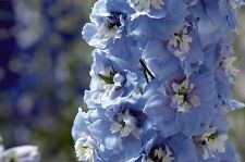 50+  DELPHINIUM SUMMER SKIES, LARKSPUR, PERENNIAL, DEER RESISTANT FLOWER SEEDS