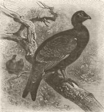 ANIMALS. Hybrid between blackcock & capercaillie  1895 old antique print