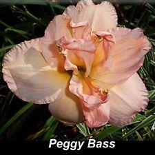 """Daylily Peggy Bass 26"""" (3 Fans Bare Root) Hemerocallis"""