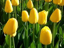 50 Tulip 'Lemonade' Yellow TULIPS Spring Flowering Bulbs Flowering Guarantee