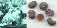 Zierpflanze Riesenpalme für Ihren Garten : Winterfeste Himmalaja-Palme * Saatgut