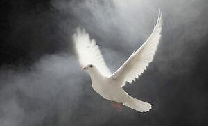 Framed Print - White Flying Dove Descending from the Misty Havens (Picture Art)