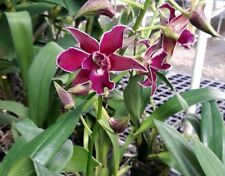Dendrobium Pua'ala Orchid Plant with 2 spikes