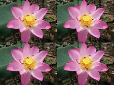 100 SEEDS PINK DAY LOTUS NELUMBO NUCIFERA POND PLANT NOT WATER LILY