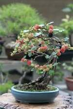 Bonsai Black Mulberry Tree Cutting - Large Thick Trunk