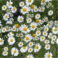 Herb Seeds - Chamomile German - 40,000 Seeds