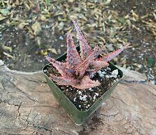 Mature Clump A+ Aloe Cv Oik Kelly Griffin Hybrid Aloe Succulent Colorful