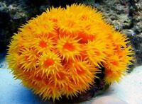 SALE! LIVE SUN CORAL FRAG 7+ POLYPS Live Marine Saltwater fish Coral Rock