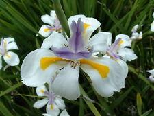 Dietes grandiflora - Butterfly Iris 15 seeds