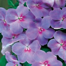 25+ Impatiens Flower Seeds / Accent Blue Lavender / Hardy, Shade Annual