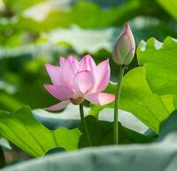 Sagenhaft - eine exotische Schönheit für den Gartenteich: die echte Lotusblume !