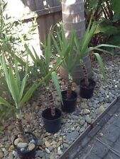Yucca Canes. (elephantipes)