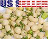 30+ ORGANICALLY GROWN Peruvian White Habanero Hot Pepper Seeds Heirloom NON-GMO