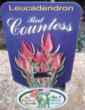 Leucadendron Red Countess in 75mm tube (Leucadendron and Protea) cut flower