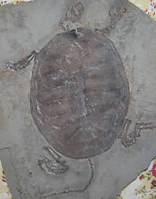 Rare Chinese Best Triassic Keichousaurus Real Turtle Fossil FREE SHIPPING