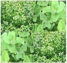 (2,000) Sweet Marjoram Herb Seeds - Origanum majorana - Combined S&H