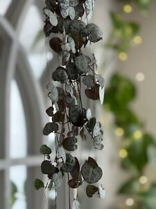 String of Hearts Cutting -Ceropegia woodii - 1 unrooted cutting 10-15cm