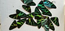 20 wings green urania ripheus real butterfly/moth pieces for craft