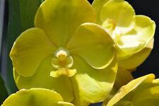 Orchid - Vanda Lourdes Apostal Yellow ….. Stock #288